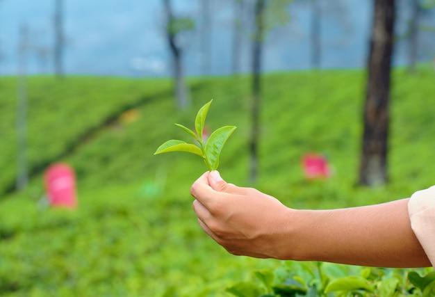 茶植物のクローズアップの緑の葉を持っている手