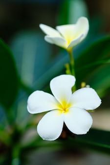 フランジパニホワイトトロピカルアロマフラワーツリー。プルメリアブロッサム