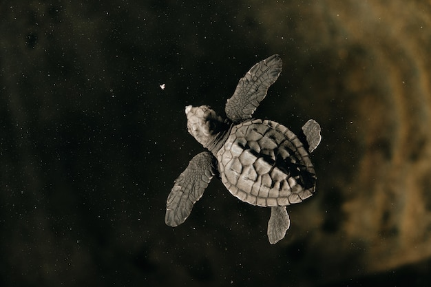 水で泳ぐ新しい生まれた赤ちゃんカメトップビュー