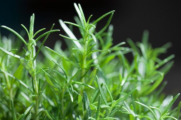 Свежая трава розмарина растет на открытом воздухе