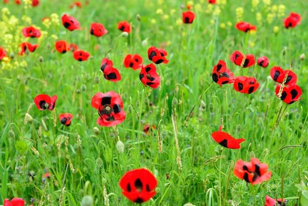 ケシの草原フィールド風景