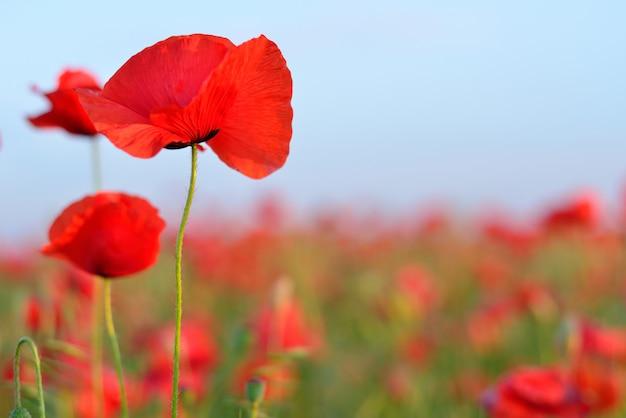 花の赤いケシ