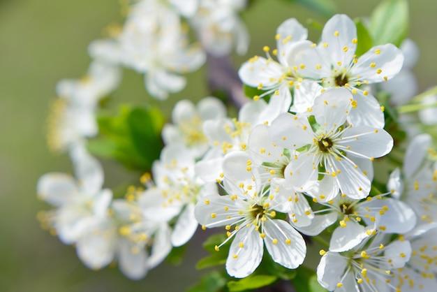 咲くホワイトチェリー