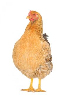 白、スタジオショットで隔離される茶色の鶏