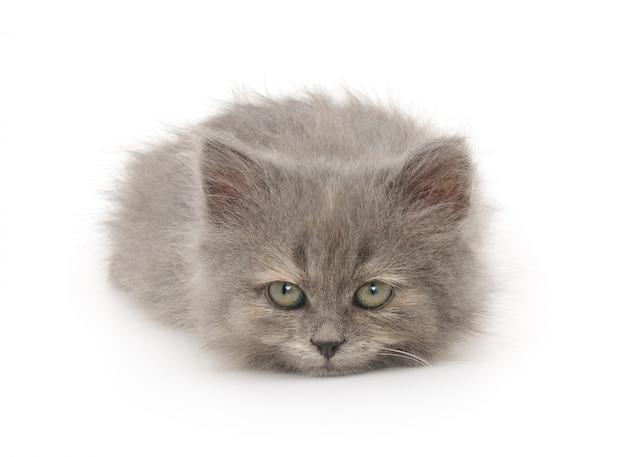 分離された白の小さな灰色の子猫