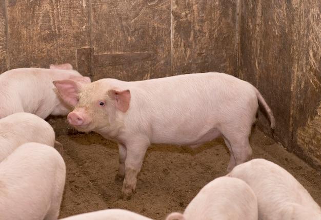 国産小型豚