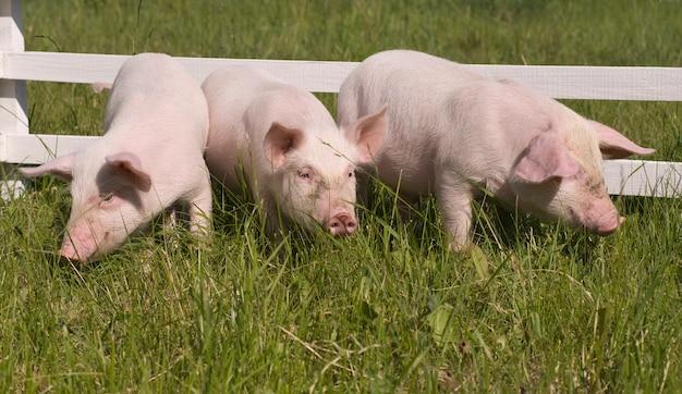 草を食べる小さな豚