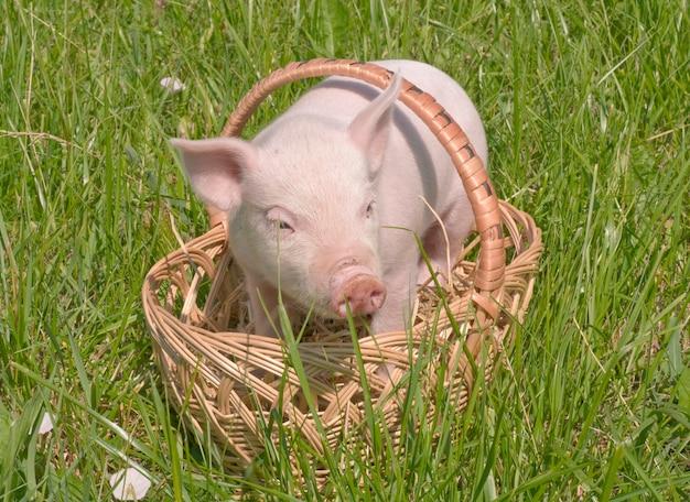 かごの小さな豚