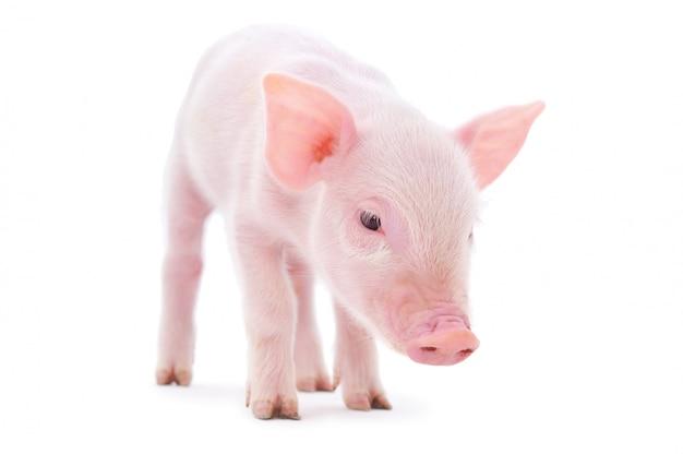 白い背景で隔離の小さな豚
