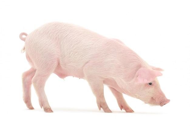 白い背景で隔離の豚