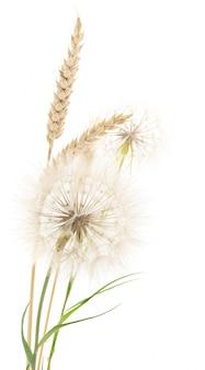 小麦とタンポポ。