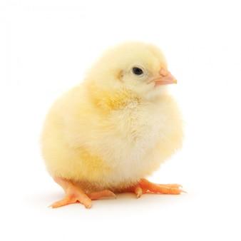 白の小さな鶏