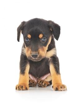 Маленький щенок изолированный на белизне.
