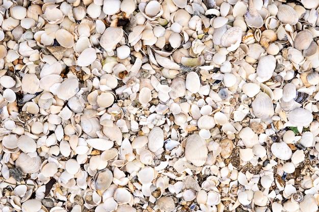 たくさんのザルガイの殻とビーチで海のシェルの背景。自然の背景