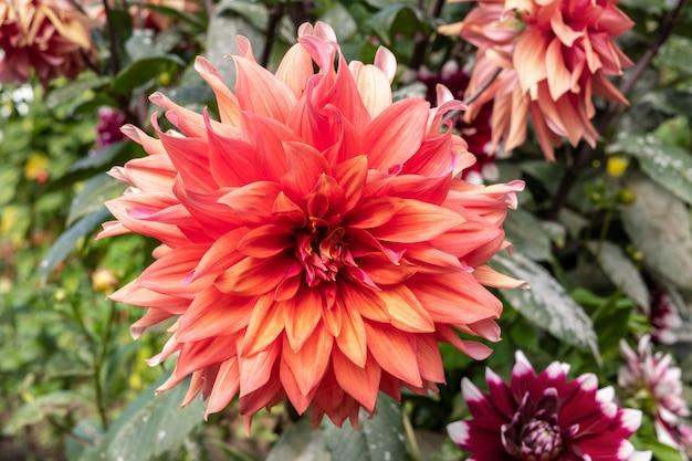 ダリアの花の庭。キク科