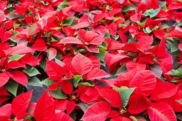 ポインセチアの花の背景。クリスマスの花