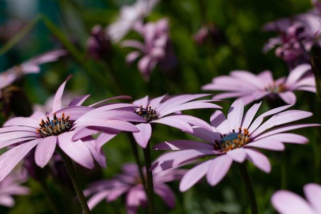 Фиолетовые цветы ромашки