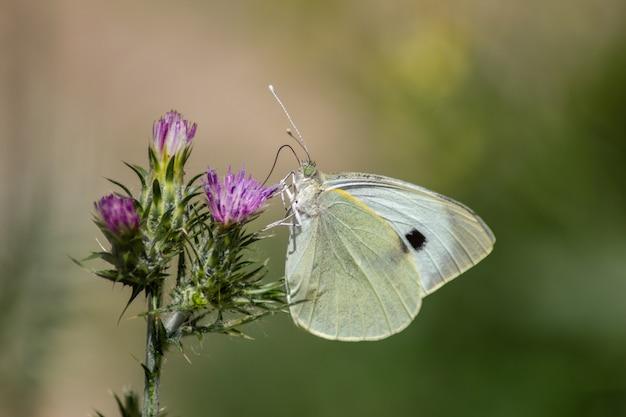 花の上の白い蝶(オオモンシロチョウ)