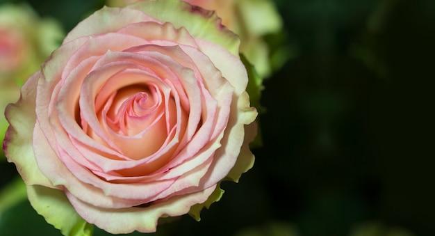 美しいピンクのバラのクローズアップ。