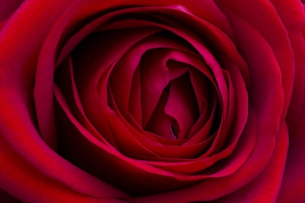Крупный план красивой красной розы, фотографии макроса, для того чтобы отпраздновать день валентинки.