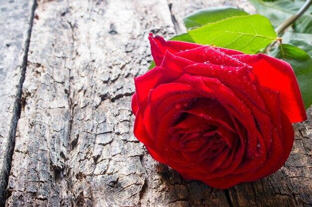Одна красная роза крупным планом на дереве с каплями воды на лепестках
