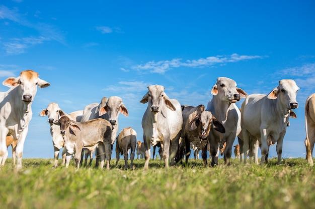 夏の緑のフィールドで子牛の群れ