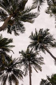 Пальмы с кокосами на острове маафуши, мальдивы.