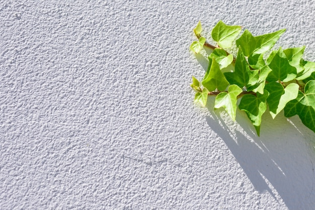 新鮮なアイビーグリーンの葉は、白いテクスチャの壁の背景に登る。