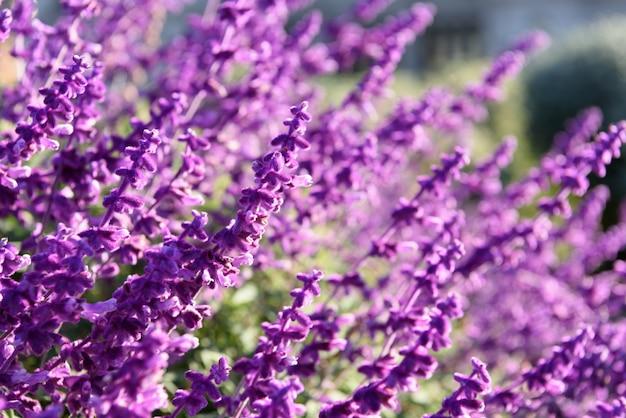 紫のラベンダーのクローズアップの背景