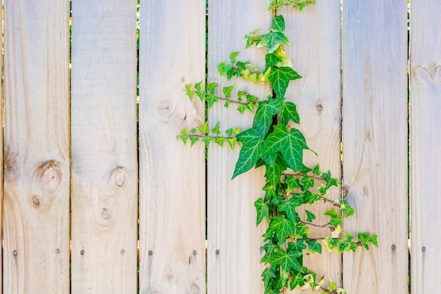 木製のフェンスには緑色のアイビーが登る。テクスチャ木製パネルの背景。