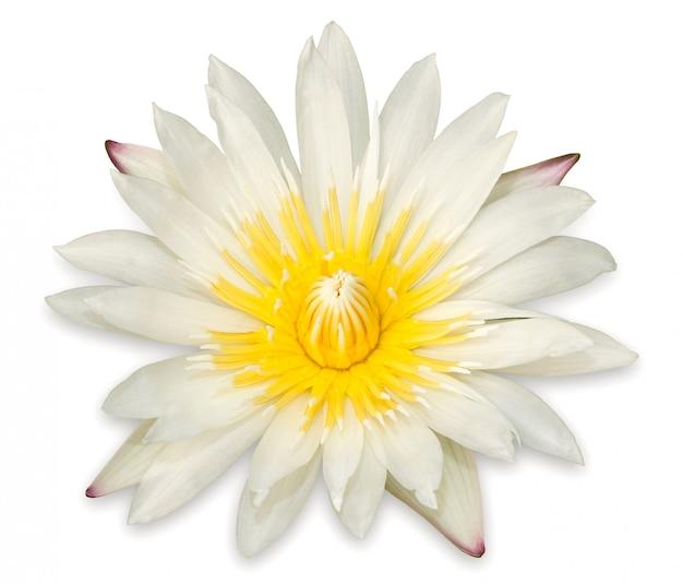 黄色の蓮の花は、白い背景に