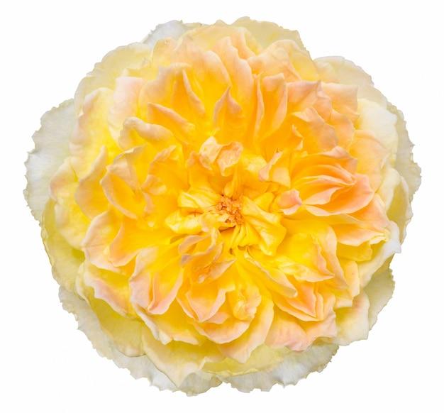 黄色のバラ花は、クリッピングパスと白に隔離されて