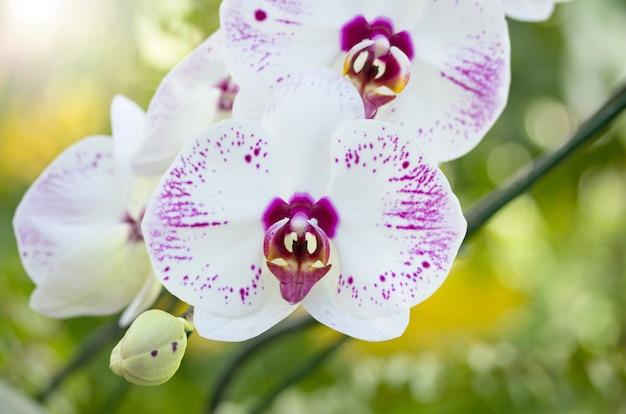 Фаленопсис цветок орхидеи
