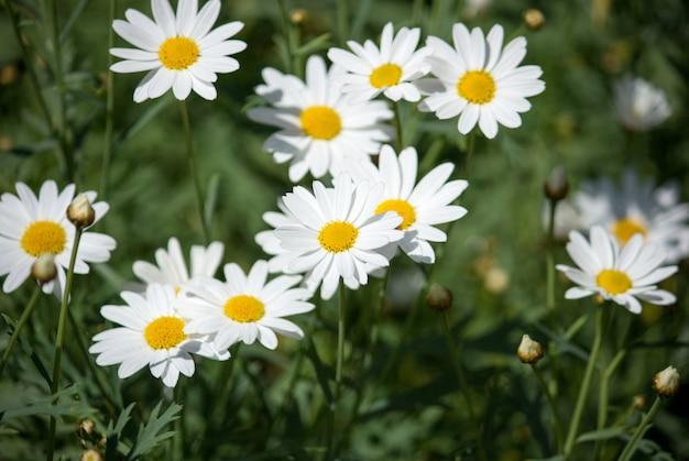 庭の日光と白いデイジーの花