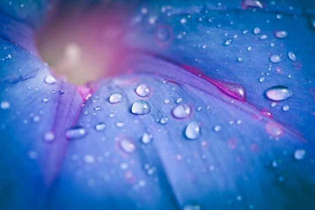 朝露の滴と青い朝顔の花の極端なクローズアップ。被写界深度が浅い。
