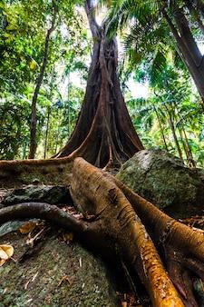 Красивая смоковница с гигантскими корнями
