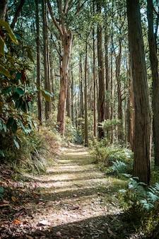 ユーカリの森の静かな通路。ダンデノン山脈、メルボルン、オーストラリア。