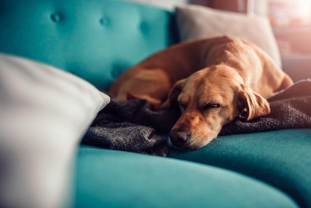 ソファで寝ている犬