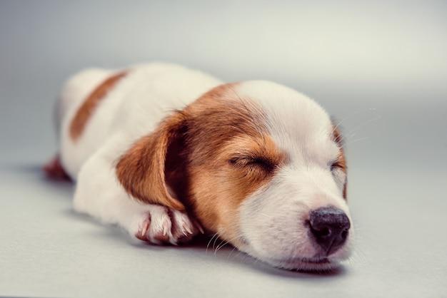 眠っているジャックラッセルテリア子犬