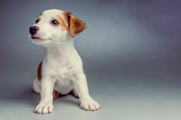 座っているジャックラッセルテリア子犬