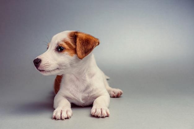 横たわっているジャックラッセルテリア子犬