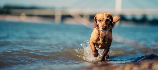 浅い水の中を歩く犬