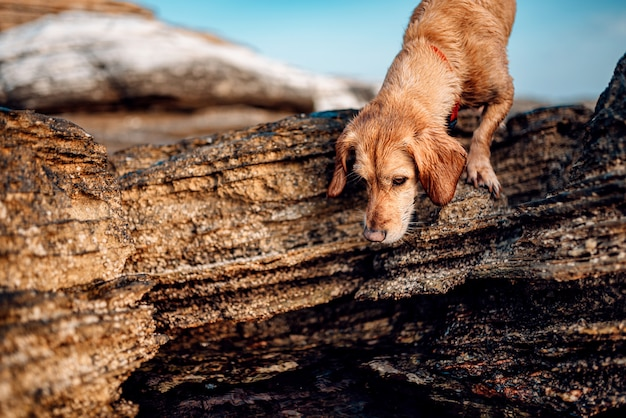 濡れた犬が岩のビーチに沿ってさまよう