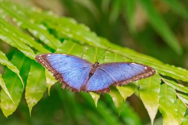 植物の葉に青いモルフォ蝶