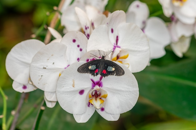 Бабочка ифидама