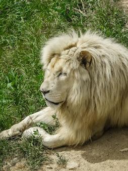 Белая голова льва