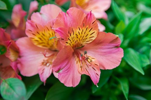 Розовая перуанская лилия расцветает с размытым фоном