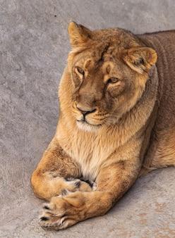 大人の雌のライオンの肖像画(パンテーラレオ)