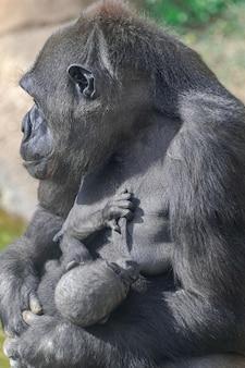 ニシローランドゴリラの女性、赤ちゃん、赤ちゃんの母親の胸にしゃぶり、日光