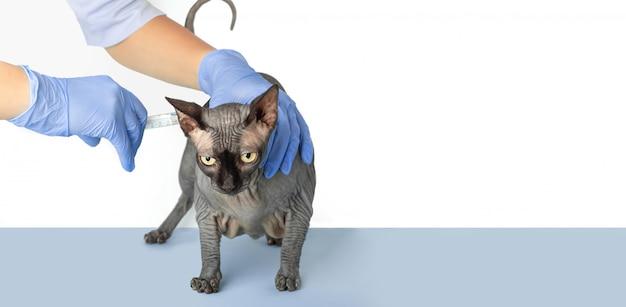 黒猫のスフィンクスに注射を行う獣医。医師、青い手袋の看護師。動物の病気、予防接種、予防、治療の概念。コピースペースで白と青のバナーを分離します。